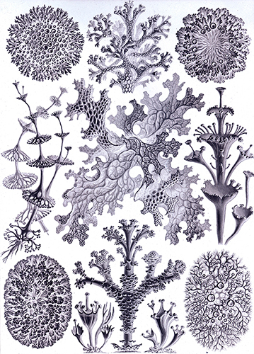 version en négatif de Lichenes de Haeckel